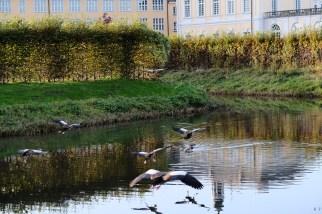 Wasservögel im Landeanflug