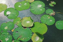 Vorbild für den Lotuseffekt
