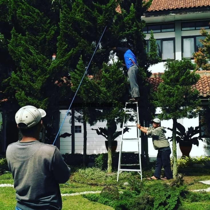 Jasa Taman di Bandung Pemangkasan dan Perawatan Pohon Cemara 1