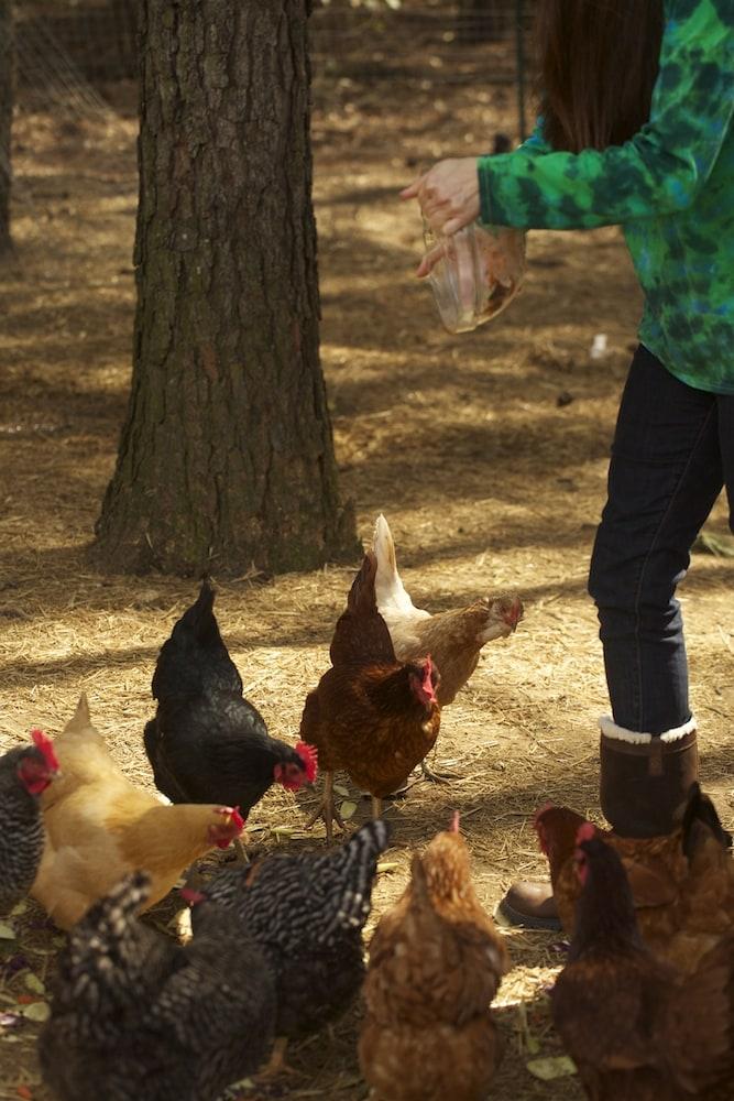 Feeding Chickens Table Scraps