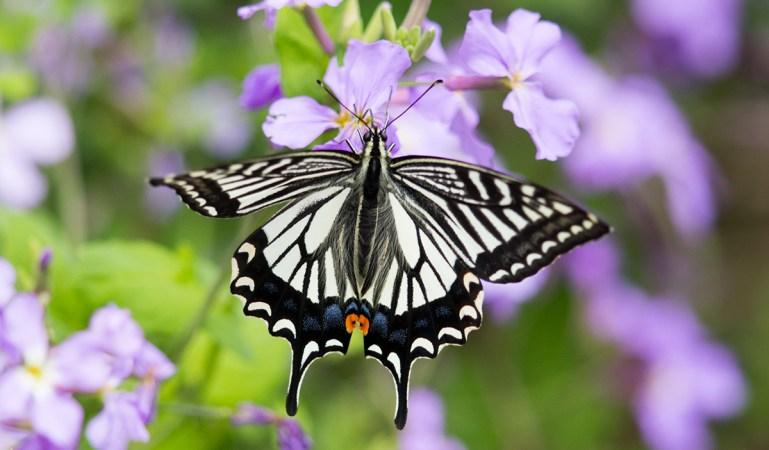Common Name : Asian Swallowtail ; Scientific Name : Papilio xuthus ; Chinese Name : 柑橘凤蝶 / Gānjú fèng dié ; Location : XiaoYangshan, Zhejiang