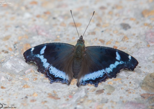 Common Name : Blue Admiral ; Scientific Name : Kaniska canace Chinese Name : 琉璃蛱蝶 / Liúlí jiá dié ; Location : Wuyuan, Jiangxi