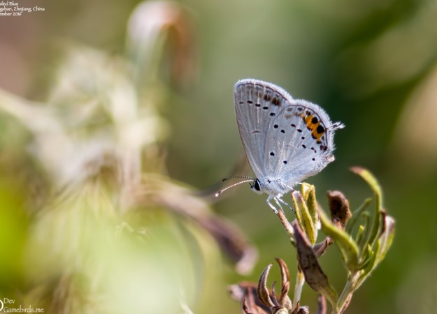 2 Photos<br />Common Name : Short-tailed Blue or Tailed Cupid