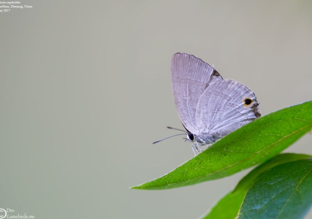 Common Name : None ; Scientific Name : Deudorix rapaloides ; Chinese Name : 淡黑玳灰蝶 / Dàn hēi dài huī dié ; Location : GutianShan, Zhejiang