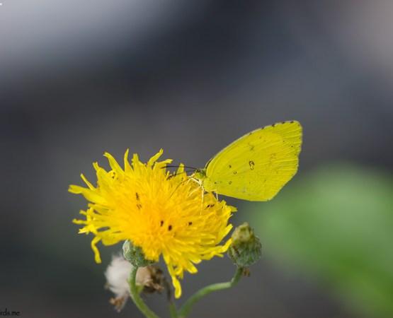 Common Name : Common Grass Yellow ; Scientific Name : Eurema hecabe ; Chinese Name : 宽边黄粉蝶 / Kuān biān huáng fěndié ; Location : Shanghai