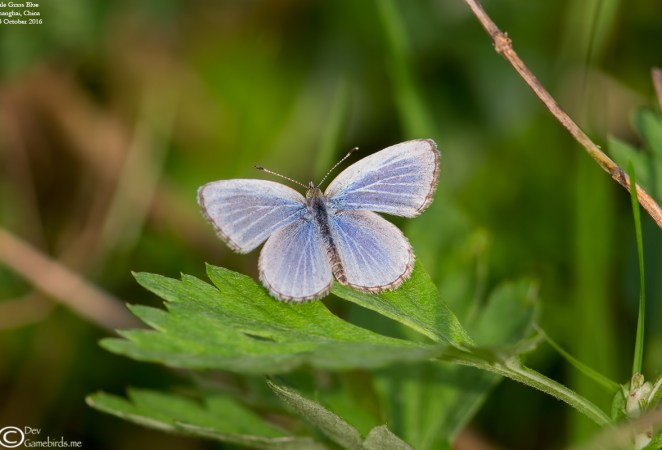 3 Photos<br />Common Name : Pale Grass Blue