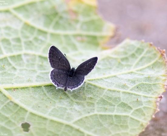 Common Name : None ; Scientific Name : Tongeia filicaudis ; Chinese Name : 点玄灰蝶 / Diǎn xuán huī dié ; Location : XiaoYangshan, Zhejiang