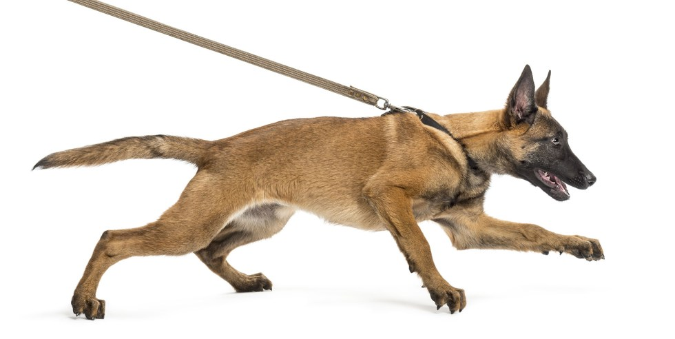 A German shepherd dog pulling on a leash symbolizing how negative thoughts can hold you back.