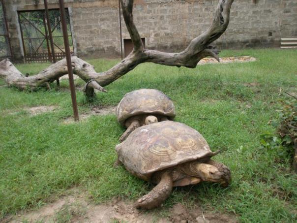 Fauna gambiana .