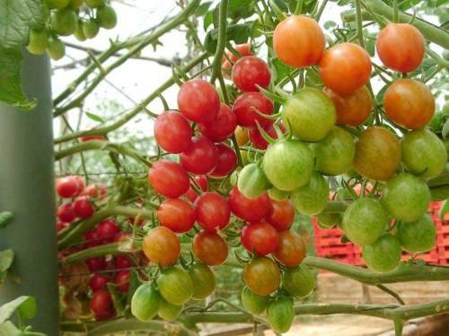 manfaat-buah-tomat-untuk-mengobati-bibir-pecah-dan-kering