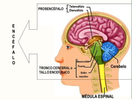 Cómo afectan los gliomas del tallo cerebral a otros órganos o ...