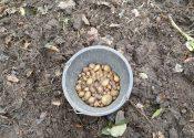Så er der lagt kartofler!