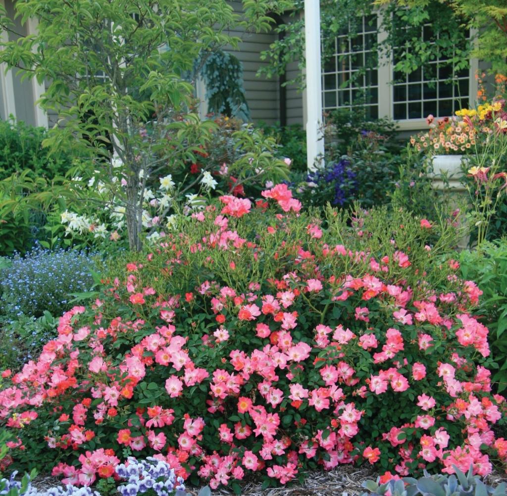 Trailing Roses Gammons Garden Center Amp Landscape Nursery