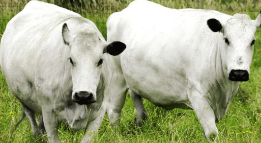 Características morfológicas del ganado BON (blanco oreginegro)
