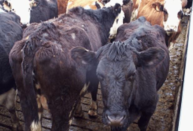 Dermatofilosis (escaldadura por lluvia / estreptotricosis bovina)