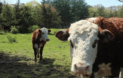 Fiebre De La Leche (Hipocalcemia) En Vacas