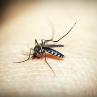 """El Aedes aegypti, el mosquito """"hogareño"""""""
