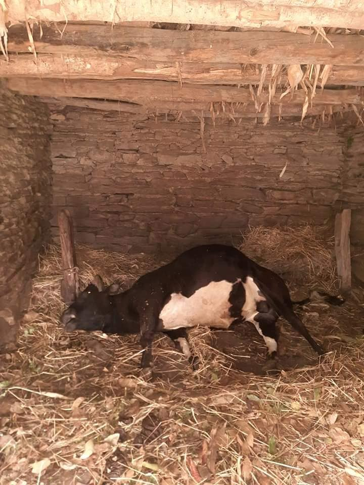 जलजला ८ नाग्लीवाङमा चट्याङ लागेर ४ वटा पशुचौपाय मरे