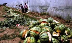 geplatzte-wassermelonen