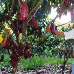 Cacau sustentável é esperança para 'salvação da lavoura' na Bahia