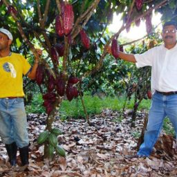 Governo da Bahia define novo modelo de cultivo do cacau cabruca