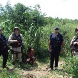 Polícia encontra 100 pés de maconha camuflados em plantação de milho em Paratinga