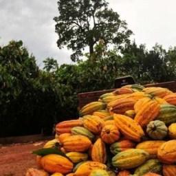 Emater-MG e agricultores investem na produção sustentável de cacau
