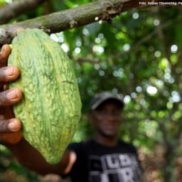 Produção agroflorestal de cacau rende mais que gado na Amazônia
