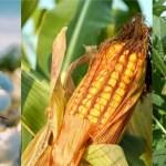 Ranking nacional de produção agrícola do Brasil está na Bahia