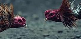 Sabung ayam terpercaya