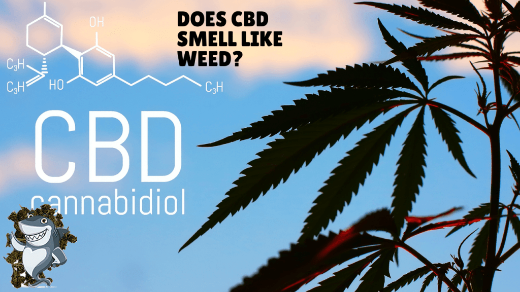 Does CBD SMELL LIKE WEED