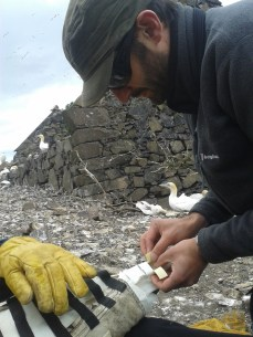 James taping a GPS logger to a gannets tail