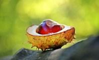 chestnut-1698730_640