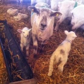 Überall Schafe!