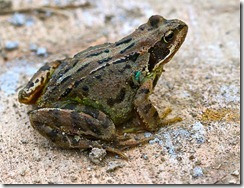 Common-Frog_thumb
