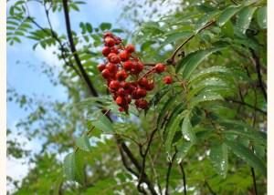sorbus-aucuparia-fruit-20130822