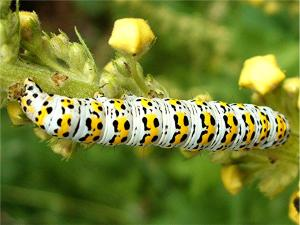 Mullein Moth Caterpillar (Cucullia verbasci)  Harecroft Crescent SP 4901 9372 (taken 26.7.2007)_caterpillar