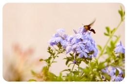 Día 155/365 : Junio 5, 2013 : Cruza entre insecto y colibrí.. un abejorro