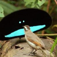 PNG's Birds of Paradise to Feature in Disney Production