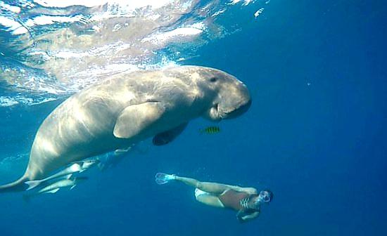 Di Alor, Festival Panggil Ikan Dugong Harus Jadi Pariwisata Internasional