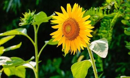 Wie wir Sonnenblumen im Garten gepflanzt haben