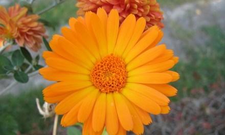 Von Juni bis September: Die Ringelblume