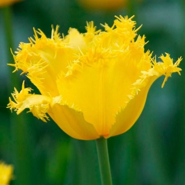 Тюльпан Майя (3) из Луковичные и корневищные цветы 105руб.