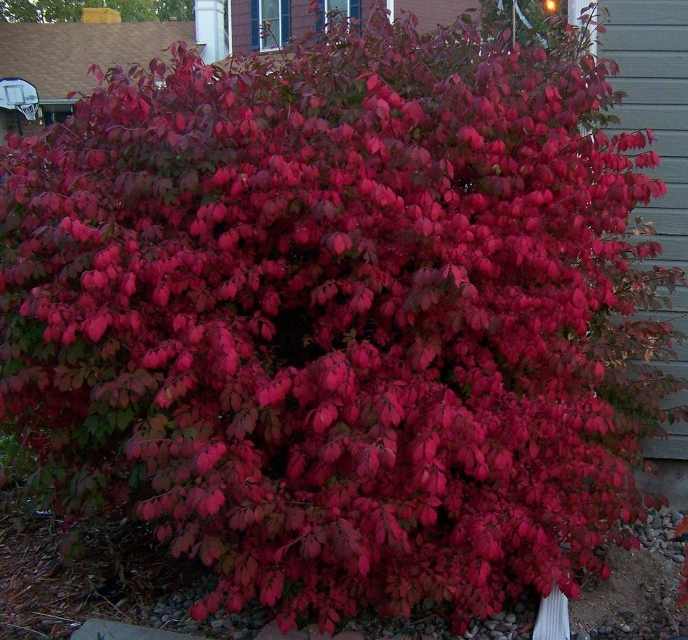 photo of the entire plant of burning bush euonymus on Burning Bush Plant id=60660