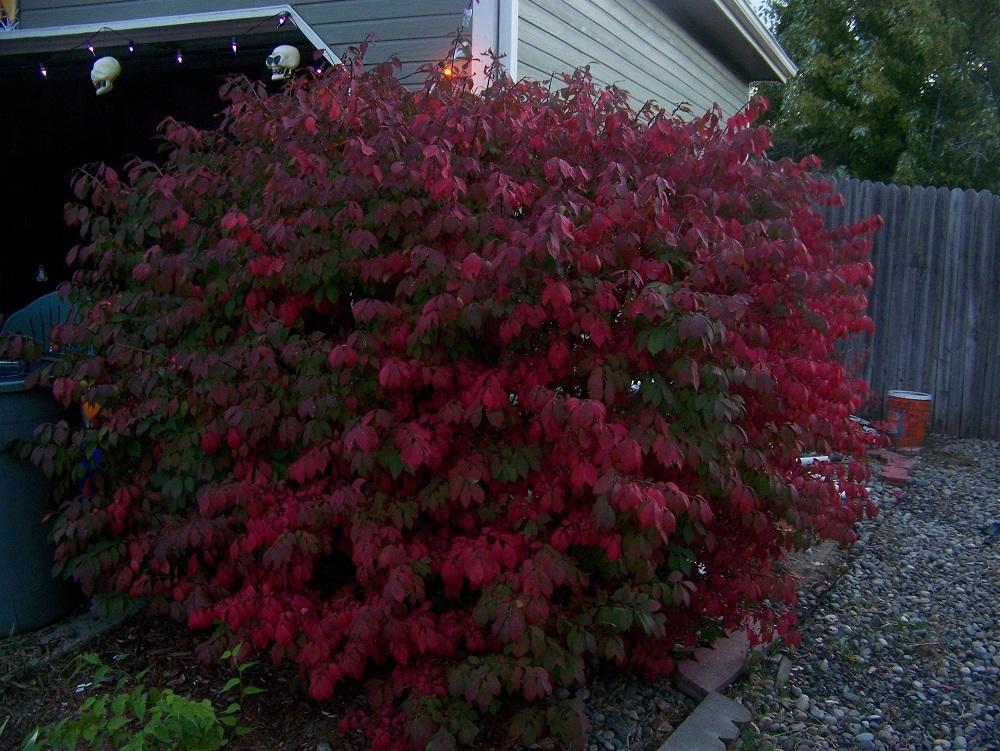 photo of the entire plant of burning bush euonymus on Burning Bush Plant id=23158