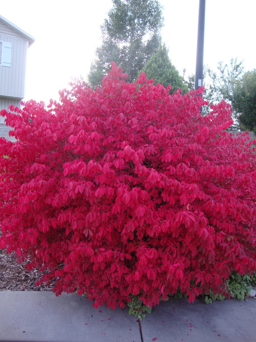 photo of the entire plant of burning bush euonymus alatus on Burning Bush Plant id=76456