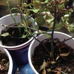 Roses Forum Propagating Rose Problems Garden Org