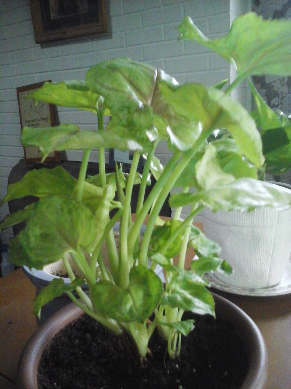 Best Kitchen Gallery: Plant Id Forum Arrowhead Plant Syngonium Podophyllum 'pink of Arrowhead House Plant Names on rachelxblog.com