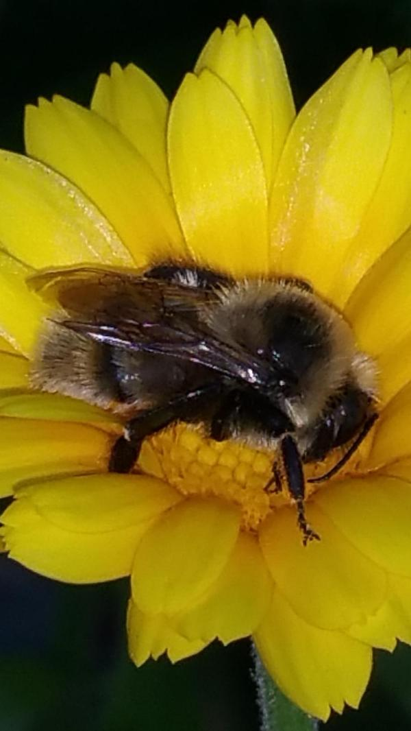 Recovery Bringing Back Bumble Bees Gardenorg