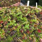 Carnivorous Plants Forum Venus Flytrap Terrarium Garden Org